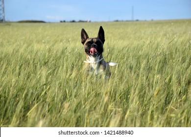 Pruunikarvaline koer külvikul