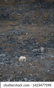 A Polar Bear(ursus maritimus) walks in stark contrast against a barren snowless arctic landscape full of rocks and boulders due to climate crisis - Image