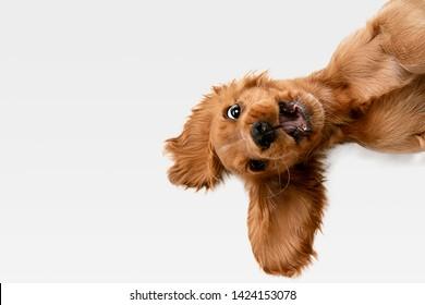 クレイジーな純粋な若者。イングリッシュコッカースパニエルの若い犬がポーズをとっています。かわいい遊び心のある白いブラウンの犬やペットが遊んでいて、白い背景で隔離されて幸せそうに見えます。動き、行動、動きの概念。