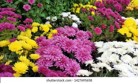 さまざまな菊の花の美しい壁紙。自然秋の花の背景。菊の花の季節。花屋で売られている鉢植えの菊の花がたくさん