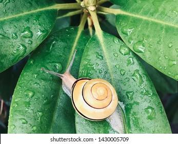 salyangoz su içinde yeşil bir yaprak üzerinde yeşil bitki arka plan üzerinde bırakır. Salyangoz mukus. çevre ve yaban hayatı kavramı. Salyangoz Balçık Özlü Organik Doğal Kozmetik