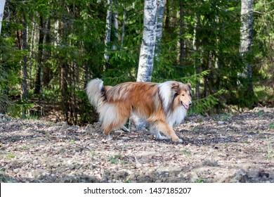 생강 사랑스러운 거친 콜리 개는 숲에서 혼자 걷고 있으며 시골에서 여름 화창한 날에 진드기 또는 벼룩에 물린 것을 두려워하지 않습니다.