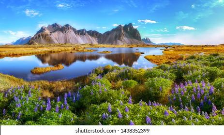 Schöner sonniger Tag und Lupinenblumen auf Stokksnes Kap in Island. Ort: Stokksnes Kap, Vestrahorn (Batman Mount), Island, Europa.