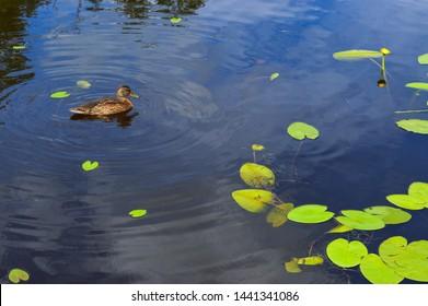 Eine schöne aquatische Wildvogelente mit einem Schnabel und Flügeln schwebt vor dem Hintergrund des Wassers im Fluss, im See, im Teich, im Meer und in den grünen Seerosen.