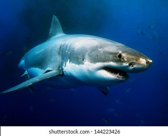 ホオジロザメの水中写真