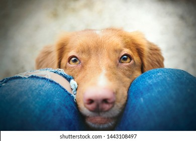How can you resist those cute eyes of nova scotia duck tolling retriever dog looking at you