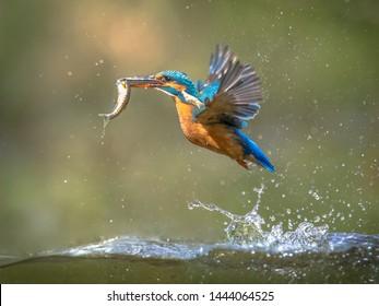 一般的なヨーロッパのカワセミ(Alcedo atthis)。緑の自然の背景のくちばしで捕れた魚の獲物と水から出てきた後に飛んでいるカワセミ