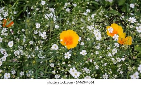 Beautiful meadow of blooming white Gypsophila elegans and yellow orange California poppy flowers. Wild green field of colorful various annual flowering plants. Close up. The beauty of nature.