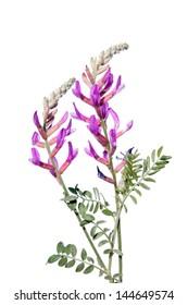 Astragalus varius isoliert auf weiß