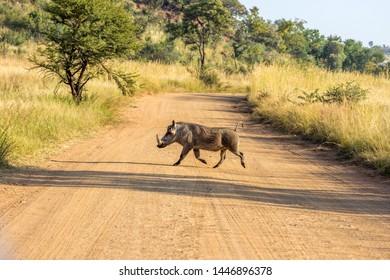 Warthog común corriendo accros un camino de tierra