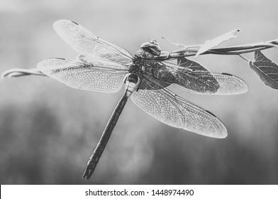La libélula blanco y negro se sienta en la hierba salvaje con el fondo desenfocado. Fotografía de cerca
