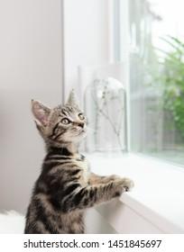 周りを見回す窓枠の小さな8週齢のぶち子猫