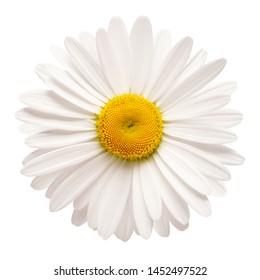Eine weiße Gänseblümchenblume lokalisiert auf weißem Hintergrund. Flache Lage, Draufsicht. Blumenmuster, Objekt