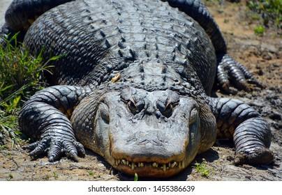 Ein Alligator ist ein Krokodil der Gattung Alligator der Familie Alligatoridae. Die beiden lebenden Arten sind der amerikanische Alligator (mississippiensis) und der chinesische Alligator (sinensis).