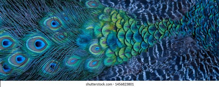 クローズアップの青孔雀の羽