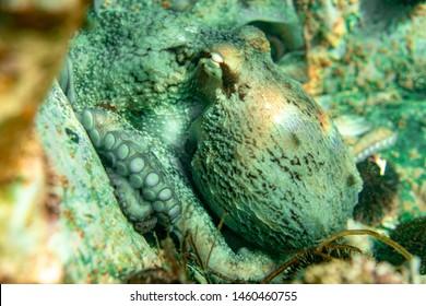 Buceo y fotografía subacuática, pulpo bajo el agua en su hábitat natural.