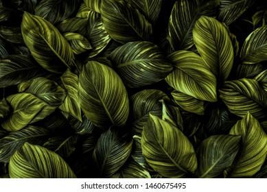 Blätter von Spathiphyllum cannifolium, abstrakte dunkelgrüne Textur, Naturhintergrund, tropisches Blatt