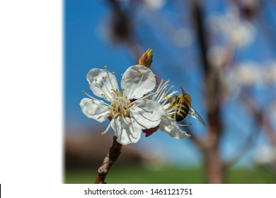 freshly opened apricot flowers in spring