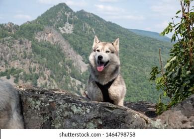 Husky Rasse Hund auf dem Berg. Reisen mit Huskies