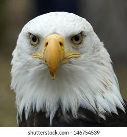 アメリカの白頭ワシの肖像画