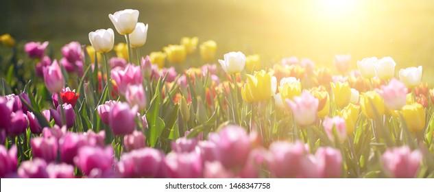 Increíbles flores de tulipán blanco que florecen en un campo de tulipanes, en el contexto de las flores de tulipán borrosas en la luz del atardecer.