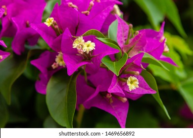 Blooming bougainvillea, лат. Bougainvillea. Purple bougainvillea flowers. Bougainvillea flowers as a background. Floral background