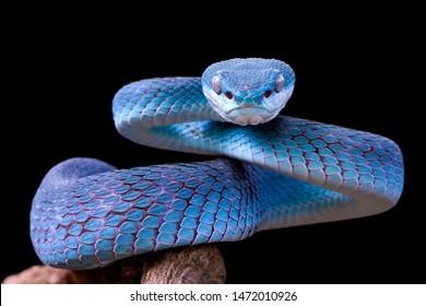 Cara de primer plano de serpiente víbora azul, serpiente víbora, azul insularis, Trimeresurus Insularis, animal closeup