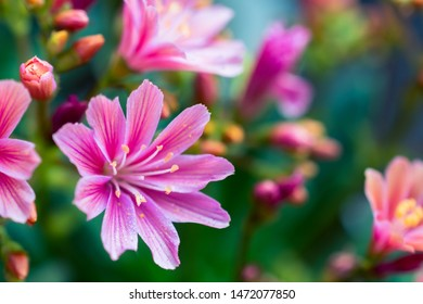 Lewisia plant, close-up of the pink flower