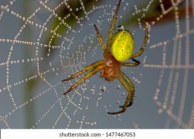 cucumber green spider in net threads covered with dew drops