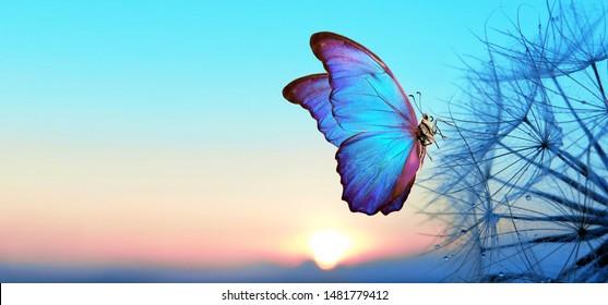 Natürlicher Pastellhintergrund. Morpho Schmetterling und Löwenzahn. Samen einer Löwenzahnblume in Tautropfen auf einem Hintergrund des Sonnenaufgangs. Weicher Fokus. Leerzeichen kopieren.