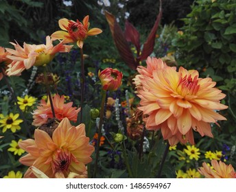Dahlienkaktus 'Gartenparty' in leuchtend kupferoranger Farbe im Sonnenlicht. Dahlien sind Stauden aus Mexiko und Mittelamerika.