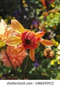 Nahaufnahme einer hellen Dahlienkaktus 'Gartenparty' in der kupferorangen Farbe. Dahlien sind Stauden aus Mexiko und Mittelamerika.