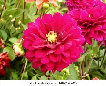 Lila rote Dahlienblüten mit leuchtend gelbem Stigma, das in einem Garten wächst