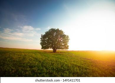 Eenzame groene eik in het veld