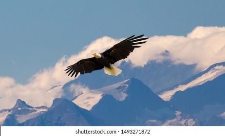 高山の空をゆっくりと雄大に飛んで滑空する白頭ワシ。野生生物と純粋な自然の概念。