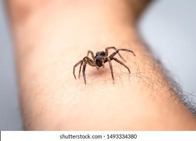 braune Spinne, giftiger Spinnentier, der auf den Möbeln eines Hauses geht. Risikokonzept, Gefahr in Innenräumen, Arachnophobie.