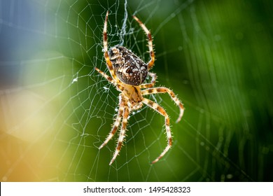 Close up macro shot of a European garden spider (cross spider, Araneus diadematus) sitting in a spider web