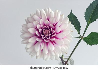 einzelne Blüte einer Dahlie, die Farben sind weiß und lila-lila, Nahaufnahme