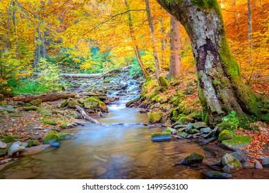 Goldener Herbst im Naturpark - lebhafte Waldbäume und schneller Fluss mit Steinen