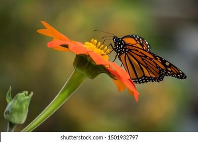 Mariposa monarca polinizando flores en el día de verano, fondo suave