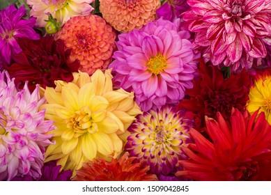 Fondo colorido agosto rojo, blanco, amarillo de la dalia. Vista de flores de dalia multicolores. Hermosas flores de dalia sobre fondo verde. Flores de verano es un género de plantas de la familia Asteracea de girasol