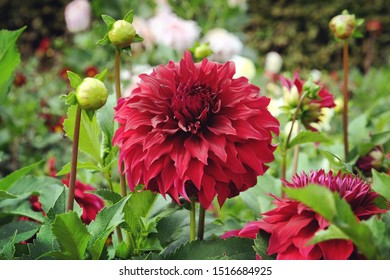 Rote dekorative Dahlie 'Spartacus' in Blüte