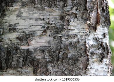 Natuurlijke close-up van berkenschors achtergrond hd.