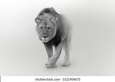 アフリカのライオン野生生物王の誇り