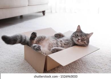 自宅の床の段ボール箱にかわいい灰色のぶち猫