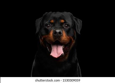 希望を持ってカメラで見ているロットワイラー犬の肖像画、黒い背景で隔離、正面図