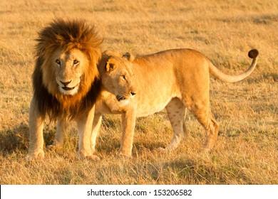 leeuw liefde - mannelijke leeuw met vrouw, masai mara, kenia
