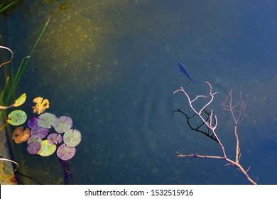 Fluss mit Seerosen und Fischen. Blick auf den Fluss. Wasseroberfläche und klares Smaragdwasser.