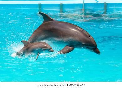Ein charmantes Delphinbaby schwimmt mit seiner Mutter Delphin im Pool. Zwei Delfine, die sich zusammen freuen. Delphin mit Jungtier schwimmen im Pool