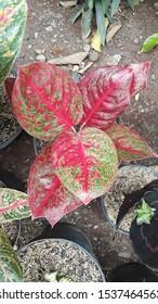 Aglaonema ariana, eine Art Aglaonema mit roten und grünen Blättern, die leicht zu züchten ist, da sie eine große Anzahl von Ackerbauern produziert